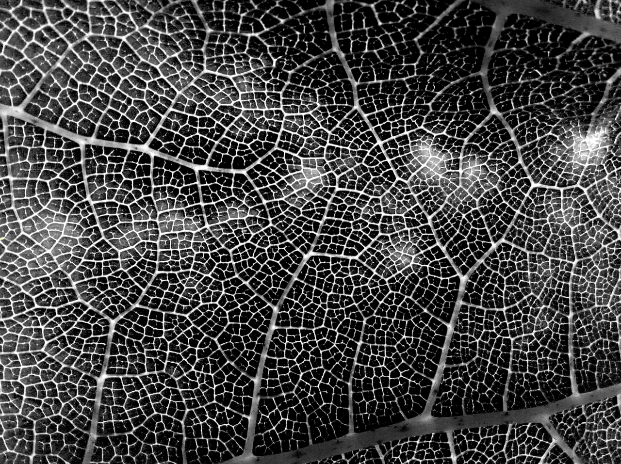 leaf black and white - photo #13