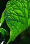 green vibrant leaf