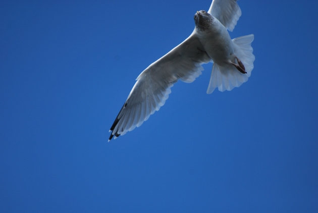 gull and blue sky