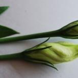petal twist