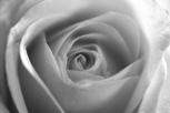 vanilla rose b&w