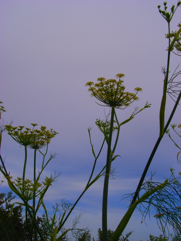 fennel, Brittany